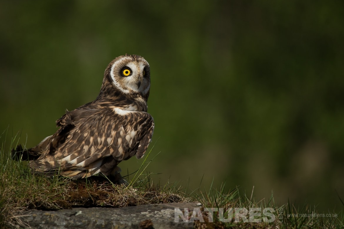 short eared owl on rocks