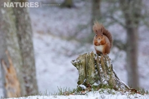 Red Squirrel perched on a snow covered tree stump in Caledonian woodland photographed on a Winter Wildlife Photography Workshop