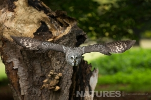 Great Grey Owl swoops down from a tree