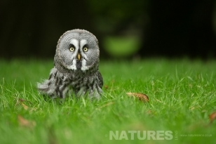 Young Great Grey Owl sat on the ground