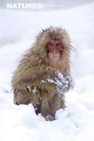 Snow Monkey in snow by Pui Hang Miles.