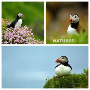Puffin Photography available on NaturesLens Wildife Photography Workshops