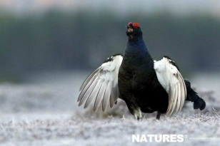 Calling Black Grouse photographed in the Scottish Highlands during lekking season