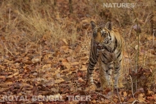 Royal Bengal Tiger photographed in Bandhavgarh India on a wildlife photography workshop featuring the Tigers of Bandhavgarh