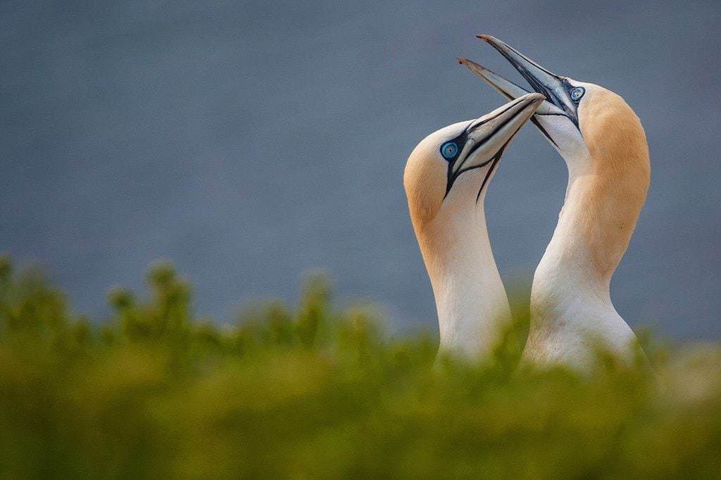 A pair of Northern Gannets - Gannet Photography Holiday - Gannet Photography Workshop