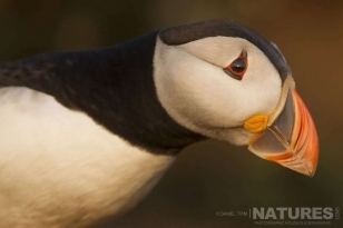Bathed in golden light, this is one of the famous North Atlantic Puffins photographed on the sea just off Skomer Island during a NaturesLens Photographic Holiday to Skomer Island