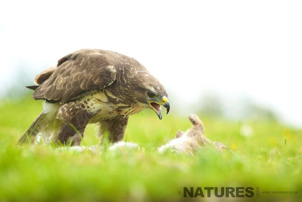 Female Buzzard on a kill. Photographed on the NaturesLens Welsh Birds of Prey workshop