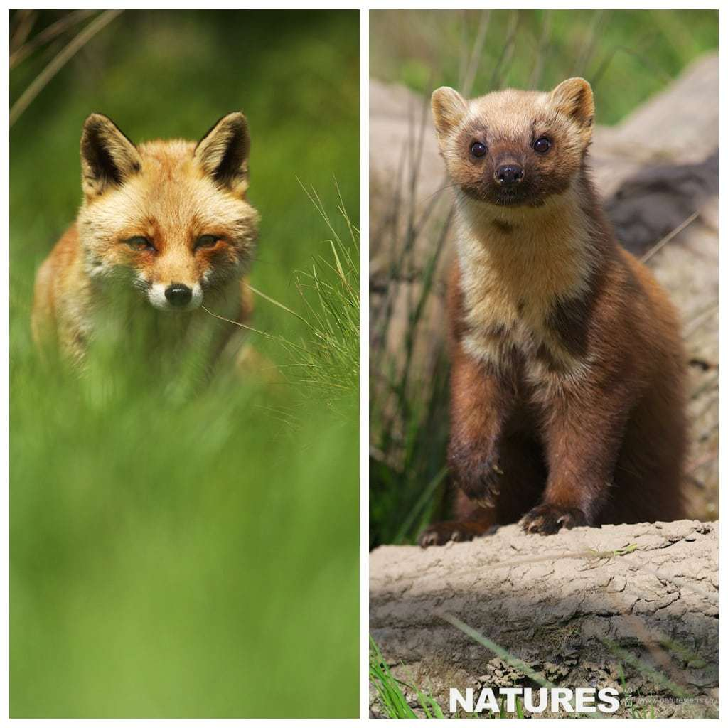 Fox and Pine Marten photographed during the NaturesLens British Mammals Photography workshop