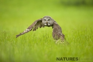 Great Grey Owl flying across grassland photographed during the Great Grey Owl Photography session run by NaturesLens