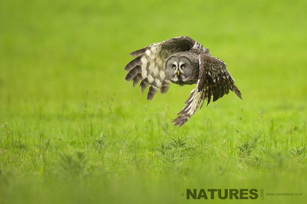 Great Grey Owl in flight as photographed during the NaturesLens Great Grey Owl Photography workshop