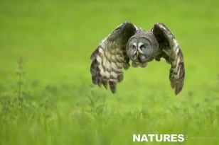 Great Grey Owl in flight. Photographed during the NaturesLens Welsh Owls Photography workshop
