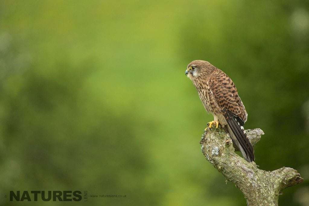Kestrel on a perch taken during the NaturesLens Welsh Birds of Prey workshop