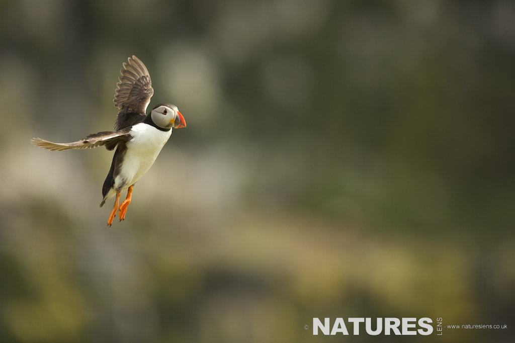 Puffin flies in from the Wick on Skomer Island during a NaturesLens Puffin Photography Holiday