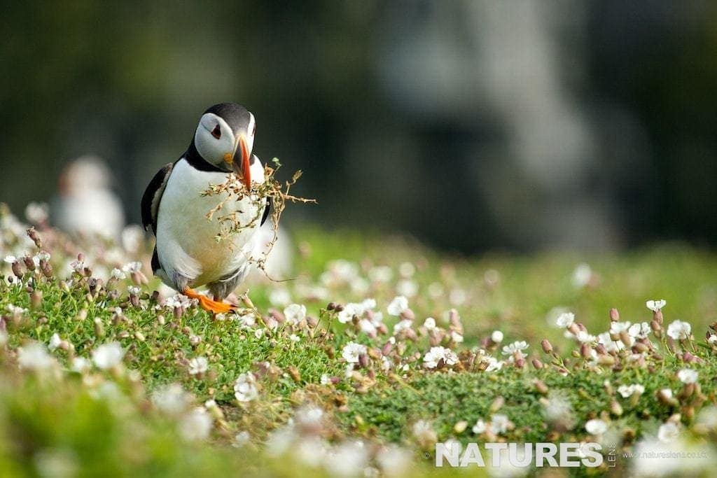 Puffin gathering nesting material photographed on Skomer Island during a NaturesLens Puffins Photography Holiday
