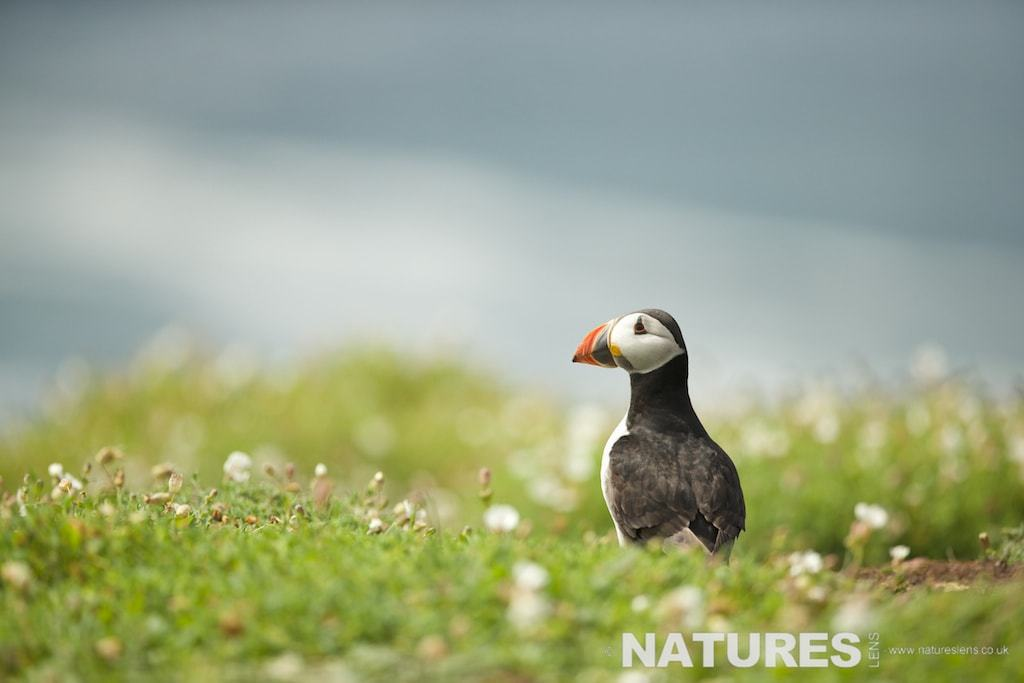 Puffin photographed on Skomer Island during a NaturesLens Puffins Photography Holiday