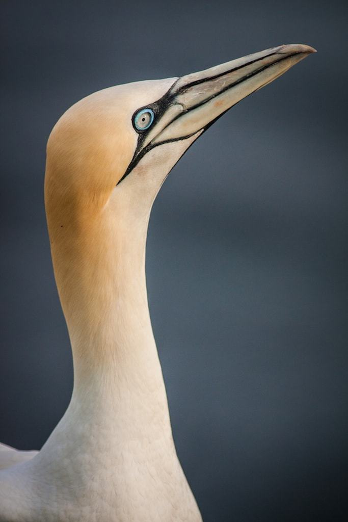 A portrait of a Northern Gannet - one of the types of bird that may be photographed within the  Saltee Islands colonies - Gannet Photography Holiday