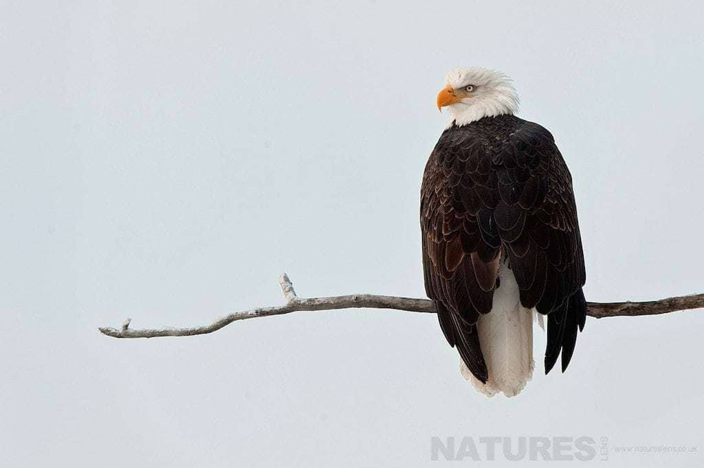 An Alaskan Bald Eagle perches in a tree above the snow & ice of an Alaskan plain