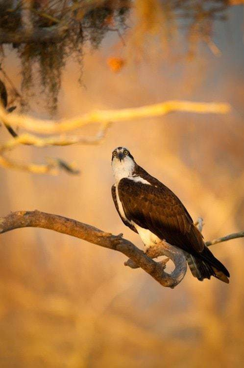 An Osprey photographed in golden light at sunrise on Blue Cypress Lake in Florida - the kind of photographic opportunity that is available on the NaturesLens Ospreys of Blue Cypress Lake Photography Holiday