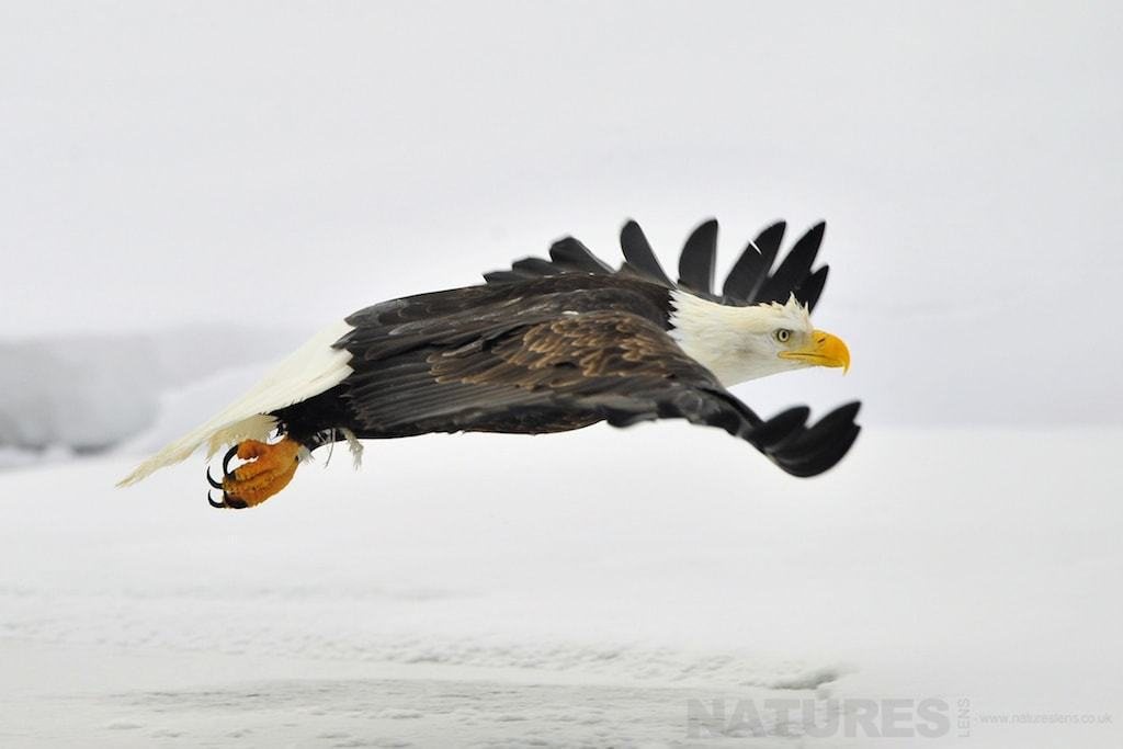 Bald Eagle flies across a snow covered Alaskan plain