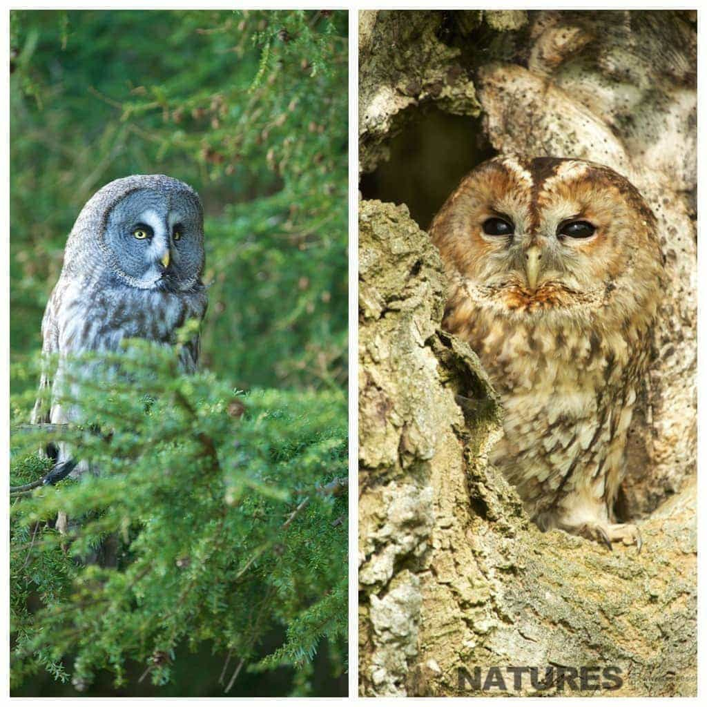 Great Grey Owl and Tawny Owl photographed during the Spring Welsh Owls workshop run by NaturesLens