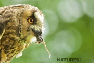 Long Eared Owl eating a mouse as photographed during the NaturesLens British Owl Photography workshop