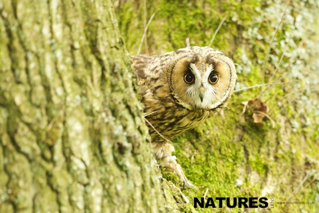 Long Eared Owl peering out of a tree photographed during the NaturesLens British Owl Photography workshop