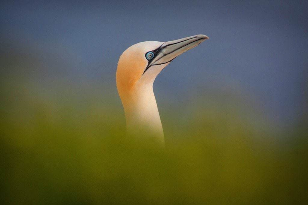 Northern Gannet of the type that may be photographed within the  Saltee Islands colonies - Gannet Photography Holiday