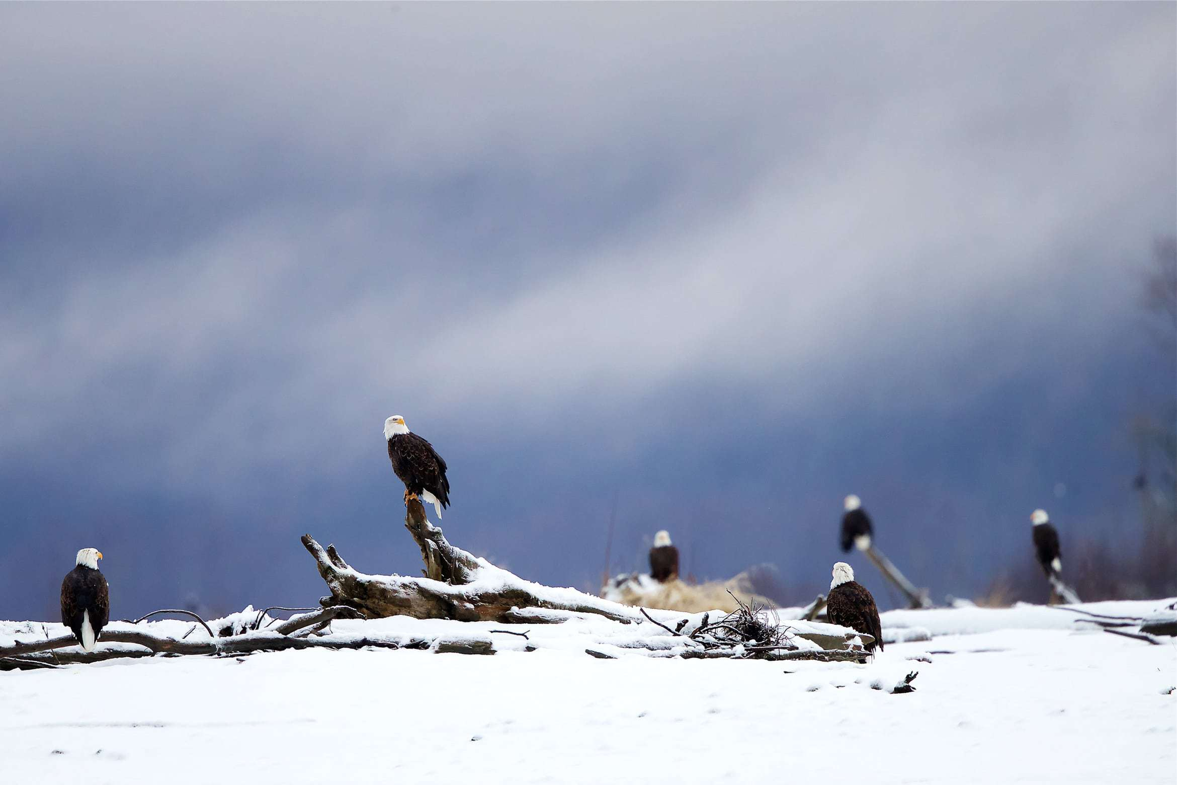 A Congregation Of Bald Eagles Photographed Within The Conservation Area Outside Of Haines Photographed During The NaturesLens Bald Eagles Of Alaska Photography Holiday