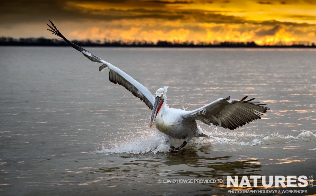 A Dalmatian Pelican against the rising sun of Kerkini - photographed by David Howse during the 2016 NaturesLens Dalmatian Pelican Photography Holiday