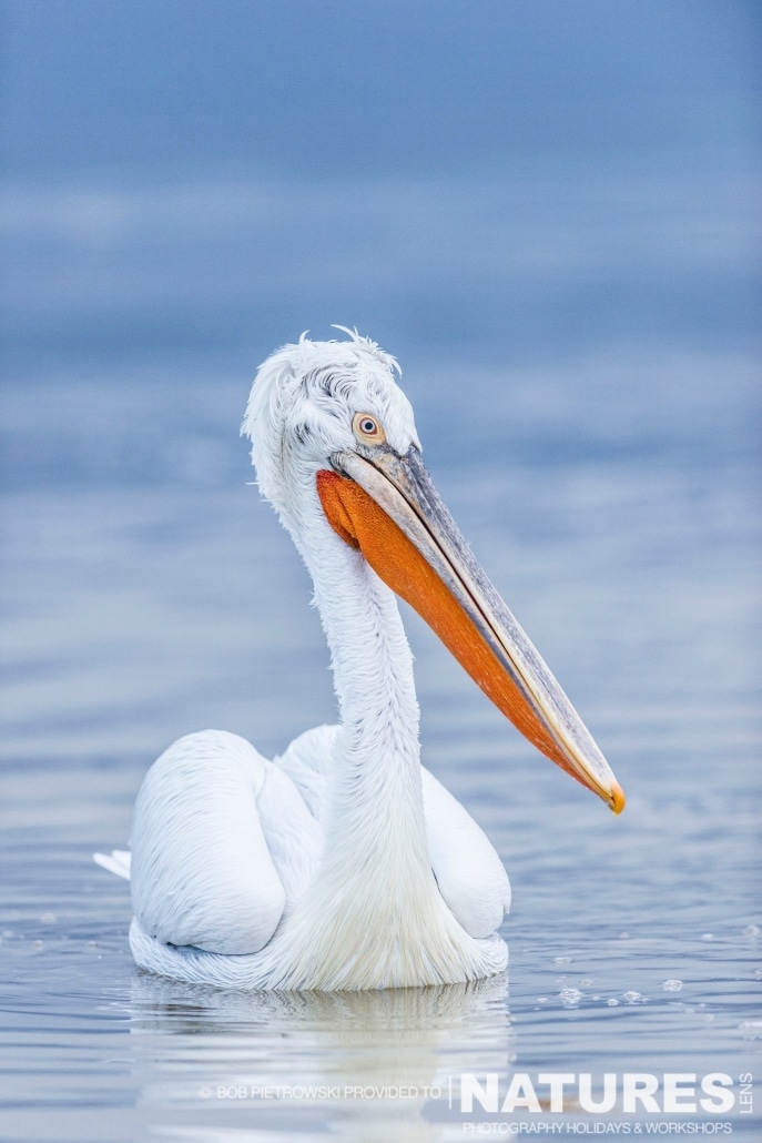 A Dalmatian Pelican at dawn - photographed by Bob Pietrowski during the 2016 NaturesLens Dalmatian Pelican Photography Holiday