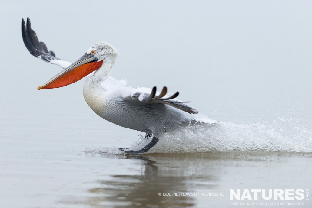 A Dalmatian Pelican coming in to land on the lake in Greece - photographed by Bob Pietrowski during the 2016 NaturesLens Dalmatian Pelican Photography Holiday