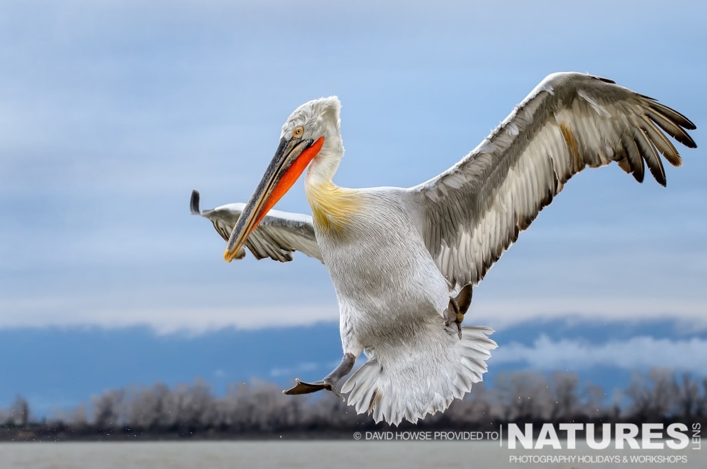 A Dalmatian Pelican coming in to land - photographed by David Howse during the 2016 NaturesLens Dalmatian Pelican Photography Holiday