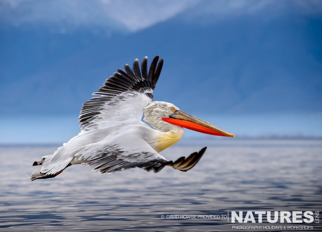 A Dalmatian Pelican flies across the surface of the lake - photographed by David Howse during the 2016 NaturesLens Dalmatian Pelican Photography Holiday