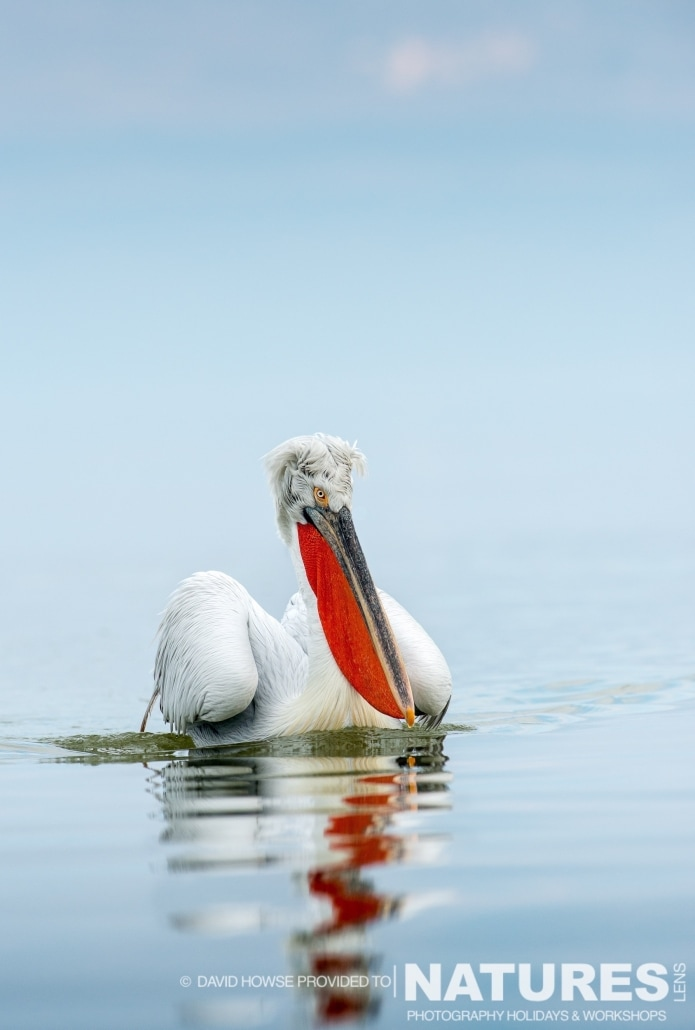A Dalmatian Pelican - photographed by David Howse during the 2016 NaturesLens Dalmatian Pelican Photography Holiday