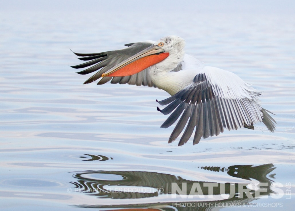 A Dalmatian Pelican skims gracefully over the surface of the lake - photographed by Richard Coles during the 2016 NaturesLens Dalmatian Pelican Photography Holiday