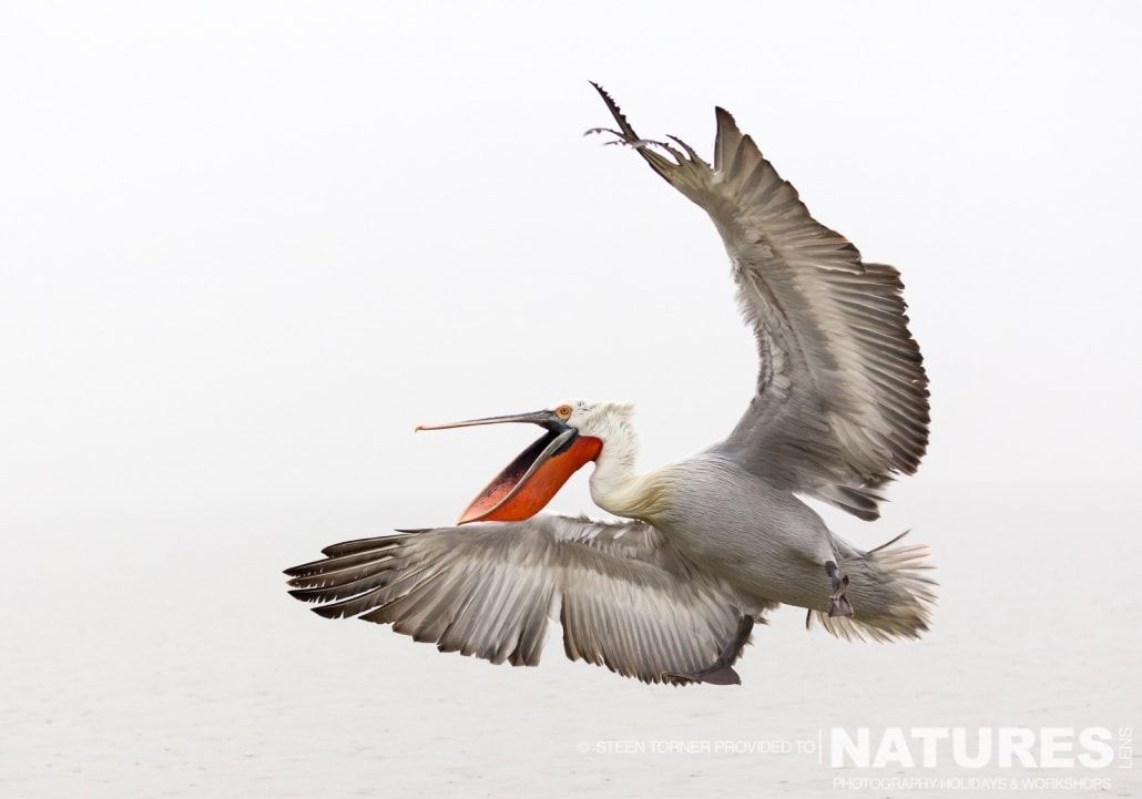 A Dalmatian Pelican takes flight - photographed by Steen Torner during the 2016 NaturesLens Dalmatian Pelican Photography Holiday