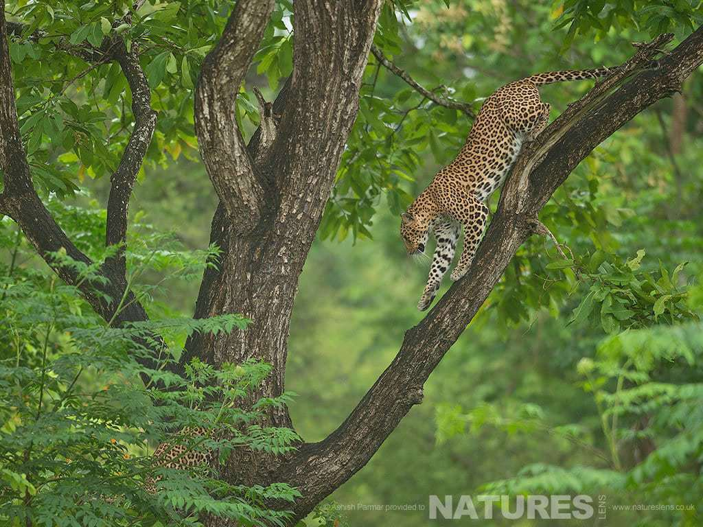 A Leopard descends from one of the trees of the Nagarhole Forest photographed on a Leopards of Kabini Photography Holiday
