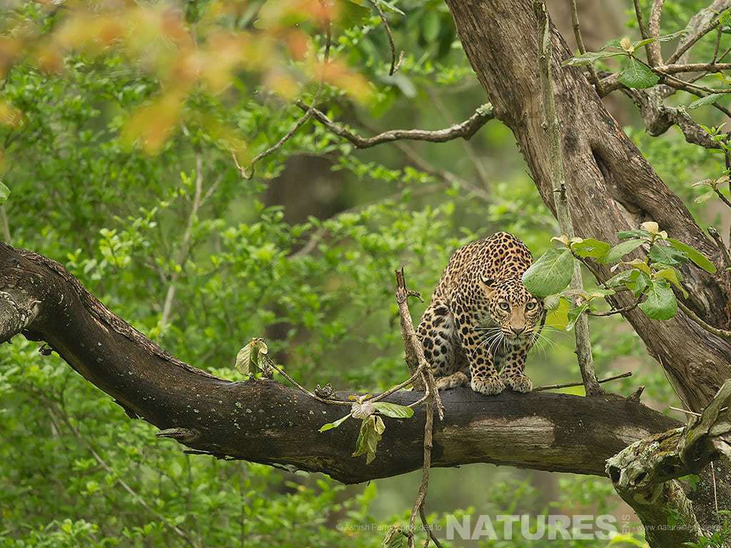 A Leopard peers down from amongst atree within the Nagarhole Forest photographed on a Leopards of Kabini Photography Holiday