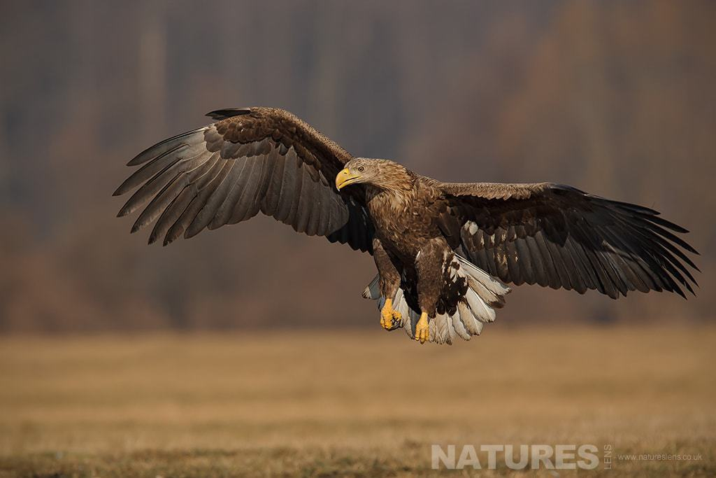 A White Tailed Sea Eagle comes in to land - photographed in Poland by a NaturesLens guide