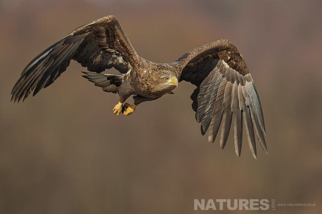 A White Tailed Sea Eagle flies into shot - photographed in Poland by a NaturesLens guide