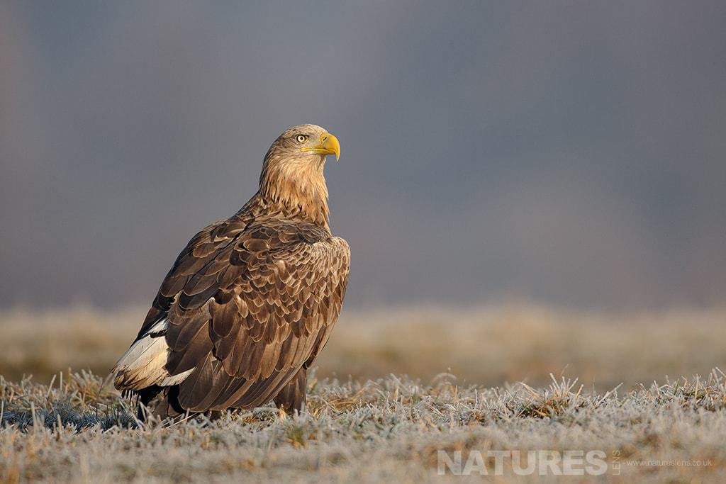 A White Tailed Sea Eagle - photographed in Poland by a NaturesLens guide