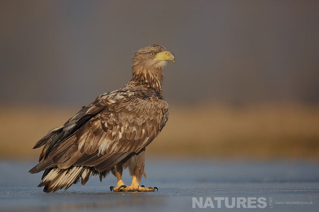 A White Tailed Sea Eagle posed on a frozen lake -  photographed in Poland by a NaturesLens guide