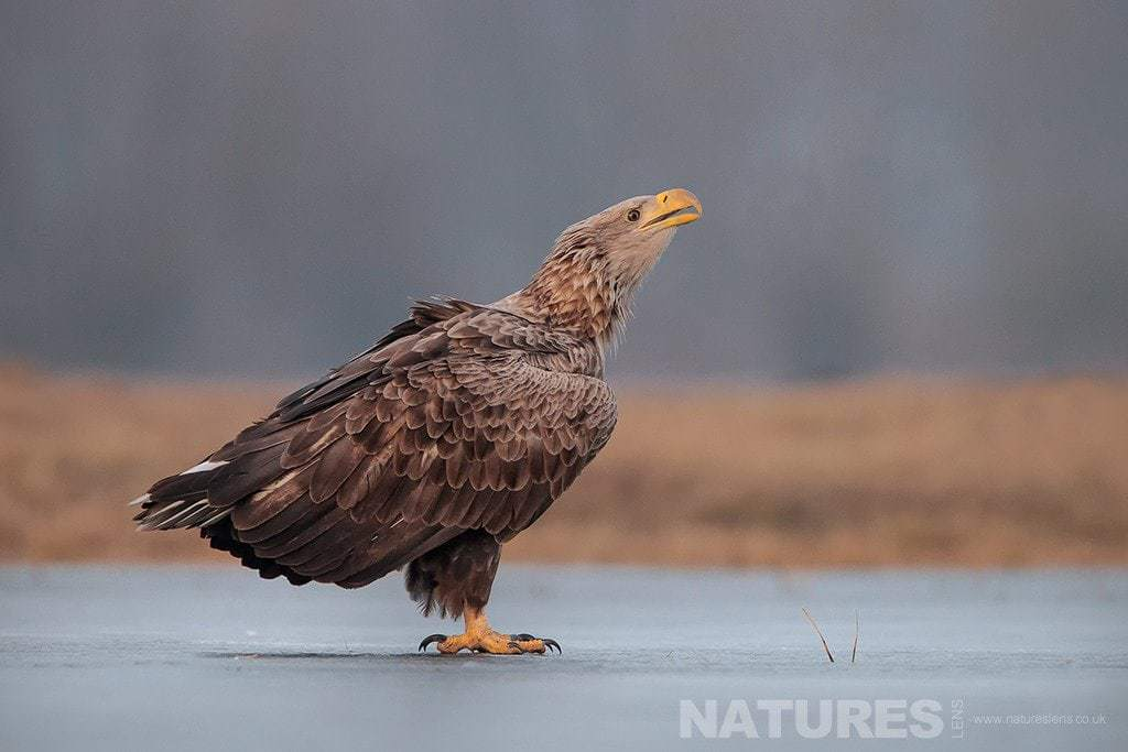 A White Tailed Sea Eagle poses on a frozen lake photographed in Poland by a NaturesLens guide