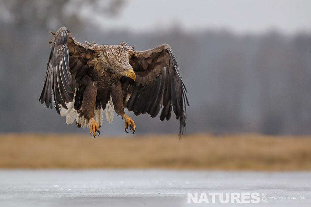 A White Tailed Sea Eagle prepares to land on a frozen lake - photographed in Poland by a NaturesLens guide