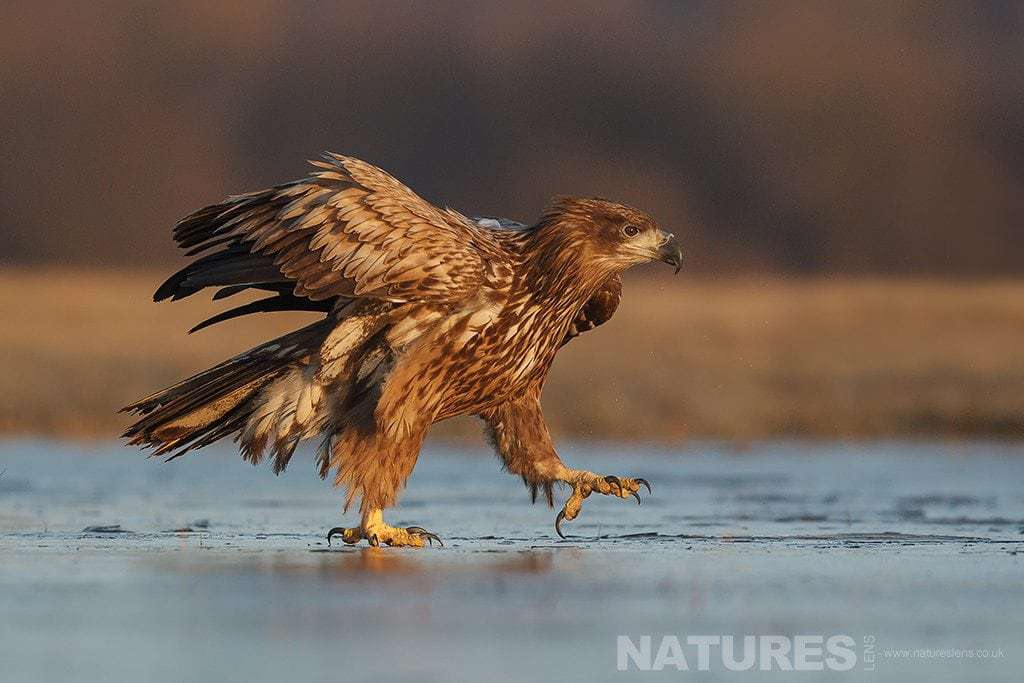 A White Tailed Sea Eagle strides across the surface of a frozen lake photographed in Poland by a NaturesLens guide