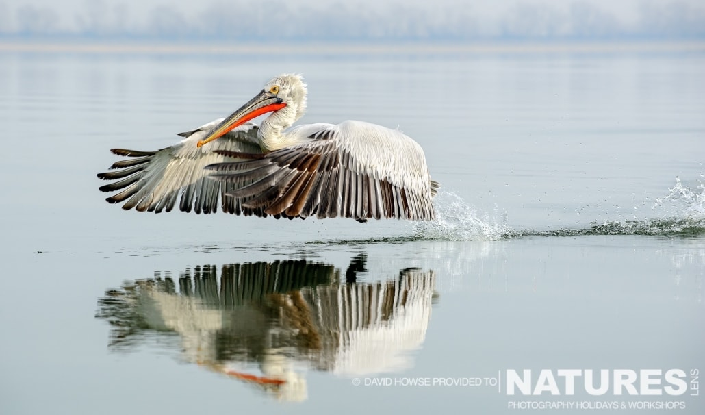 A beautifully reflected Dalmatian Pelican - photographed by David Howse during the 2016 NaturesLens Dalmatian Pelican Photography Holiday