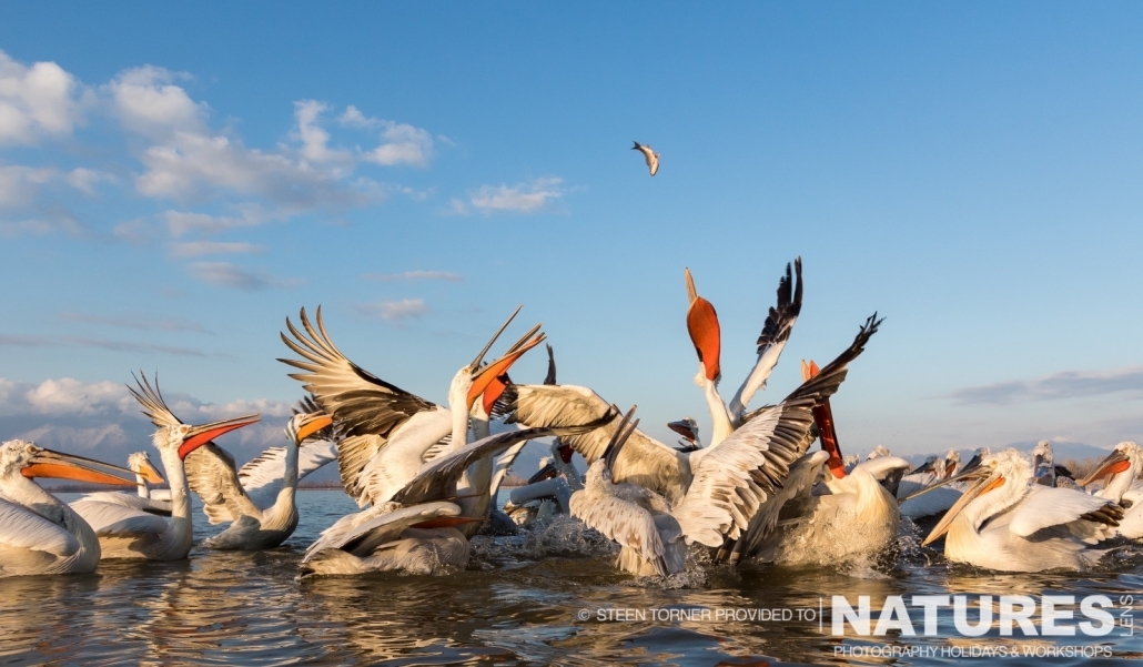 A cluster of Dalmatian Pelicans reach to catch a fish - photographed by Steen Torner during the 2016 NaturesLens Dalmatian Pelican Photography Holiday
