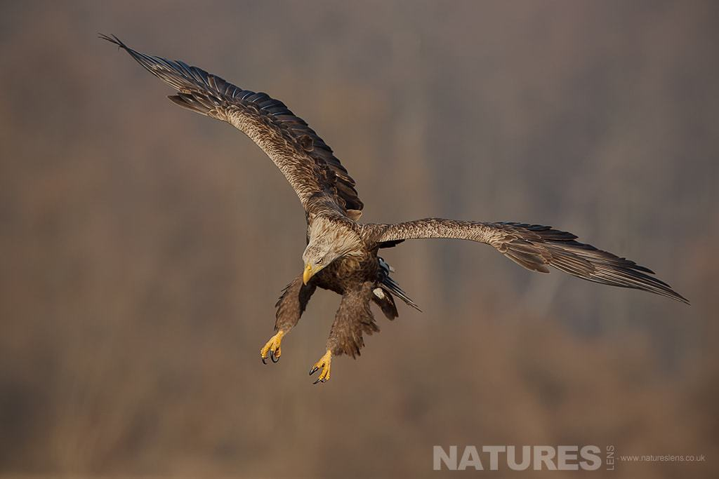 A diving White Tailed Sea Eagle - photographed in Poland by a NaturesLens guide