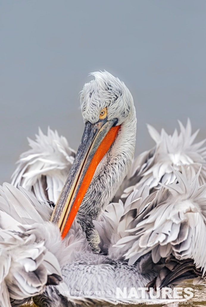 A gorgeous rear view of a Dalmatian Pelican - photographed by Jayne Bond during the 2016 NaturesLens Dalmatian Pelican Photography Holiday