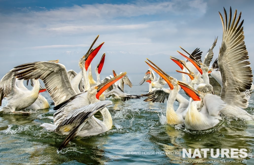 A group of Dalmatian Pelicans - photographed by David Howse during the 2016 NaturesLens Dalmatian Pelican Photography Holiday